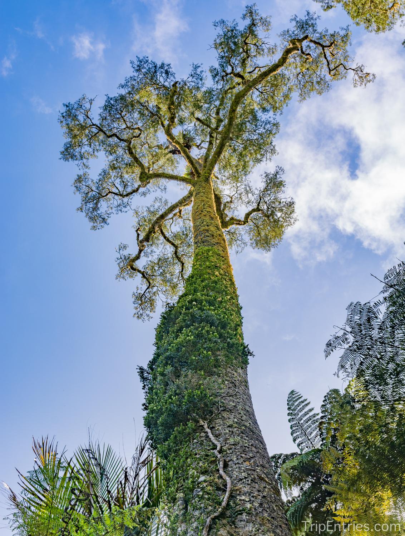 Древние деревья каури и Хоббитон